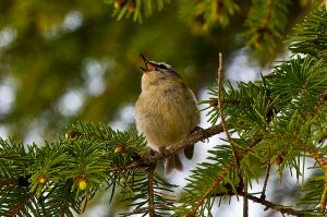 Bird singing in a tree