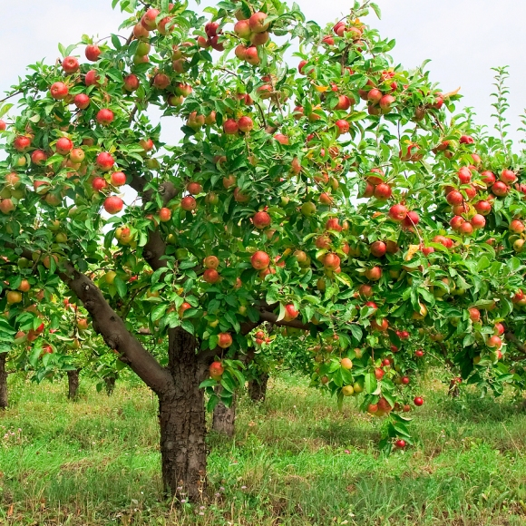 Fruitful tree