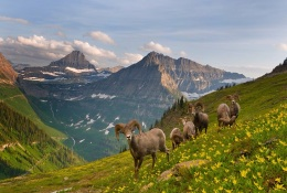 Mountain goats in Glacier