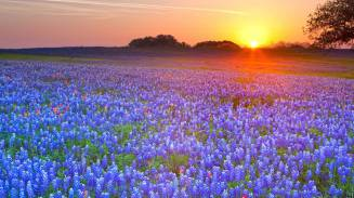 Bluebonnets at dawn