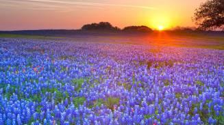 Bluebonnets at dawn